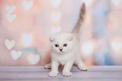 Шотландский котенок светлого цвета Стоковые Фотографии RF