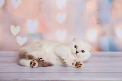 Шотландский котенок светлого цвета Стоковое фото RF