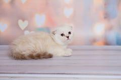 Шотландский котенок светлого цвета Стоковое Изображение RF