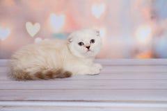 Шотландский котенок светлого цвета Стоковое Фото