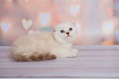 Шотландский котенок светлого цвета Стоковое Изображение
