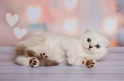 Шотландский котенок светлого цвета Стоковая Фотография