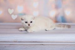 Шотландский котенок светлого цвета Стоковые Фото