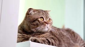 Шотландский котенок створки кладя на Windowsill видеоматериал