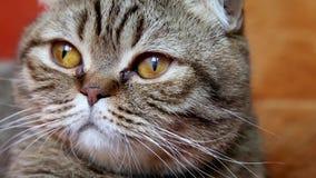 Шотландский кот створки кладя на софу, смотря к камере сток-видео