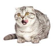 Шотландский лизать котенка Портрет удивленного Scottish кота складывает прямую, створка Scottish перед белой предпосылкой стоковое фото rf