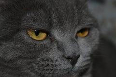 Шотландский прямой кот Кот диким выглядеть шотландский прямой стоковые фото
