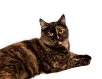 Шотландский прямой кот shorthair стоковое изображение