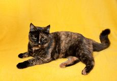 Шотландский прямой кот shorthair стоковые изображения