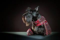 шотландский terrier Стоковые Изображения
