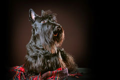 шотландский terrier Стоковое Изображение