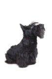 шотландский terrier стоковое фото