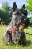 шотландский terrier стоковая фотография rf