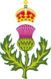 Шотландский thistle Стоковые Изображения
