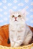 Шотландский прямой котенок Стоковые Изображения