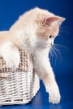 Шотландский прямой котенок Стоковое Изображение