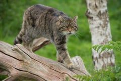 Шотландская вспыльчивая кошка Silvestris Grampia Стоковое Изображение RF
