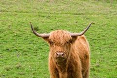 Шотландская гористая местность Bull стоковое фото rf