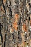 Шотландская ель Стоковые Фото