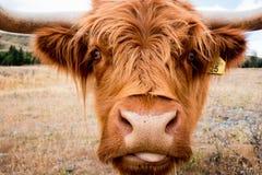 Шотландская корова гористой местности в Новой Зеландии Стоковые Изображения