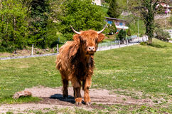Шотландская корова гористой местности на луге Стоковая Фотография