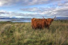 Шотландская корова гористой местности Стоковые Фотографии RF
