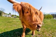 Шотландская корова гористой местности Стоковые Изображения RF