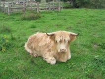 Шотландская корова гористой местности Стоковое фото RF