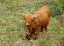 Шотландская корова гористой местности Стоковые Фото