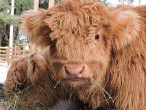 Шотландская корова младенца гористой местности Стоковая Фотография
