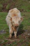 Шотландская корова higland Стоковое Изображение
