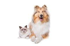 Шотландская Коллиа и кот Стоковые Изображения