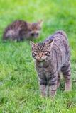 Шотландские вспыльчивые котята Стоковое Изображение RF