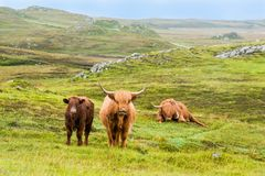 Шотландские коровы гористой местности в дожде Стоковое Изображение RF