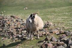 шотландские овцы Стоковое Изображение RF