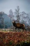 Шотландские олени Стоковые Изображения