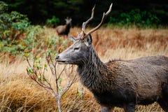 Шотландские олени Стоковая Фотография RF