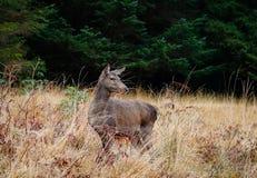 Шотландские олени Стоковое Изображение