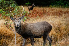 Шотландские олени Стоковое Фото
