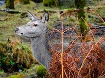 Шотландские олени Стоковые Фото