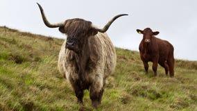 Шотландские скотины гористой местности, дождливый день Стоковые Изображения