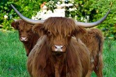 Шотландские скотины гористой местности Стоковые Фото