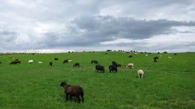 Шотландские черные овцы Стоковые Изображения RF