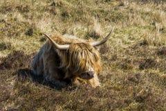 Шотландский горец Шотландия Стоковое Изображение RF