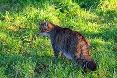 Шотландский одичалый кот Стоковая Фотография