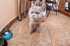 Шотландский прямой котенок Стоковое Изображение RF