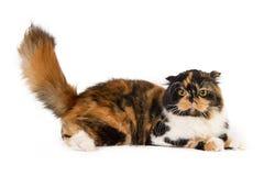 Шотландский прямой кот на белой предпосылке стоковое изображение