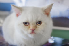 Шотландский прямой кот Стоковые Фото