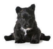 Шотландское усаживание щенка терьера стоковая фотография