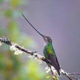 Шпаг-представленный счет колибри Стоковые Изображения RF